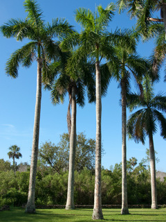 Roystonea elata (royal palm)
