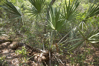 Sabal minor (Blue stem palmetto)