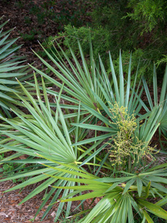 Sabal minor (Bluestem palmetto)