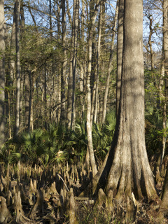 Taxodium distichum (Bald cypress)