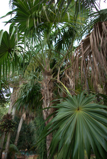 Thrinax radiata
